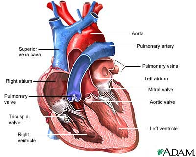 Label Heart Anatomy Diagram Printout - EnchantedLearning.com
