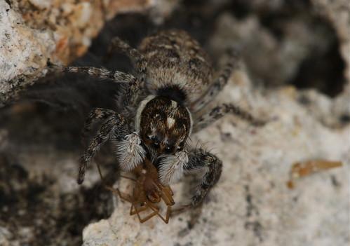 Menemerus semilimbatus (female with prey) - S'Albufera de Mallorca