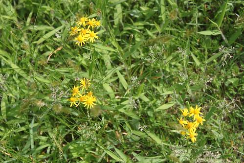 Bull Run Occoquan Trail - Yellow Wildflowers