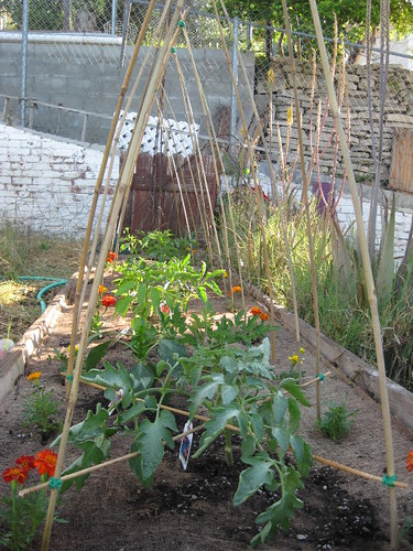 Tomato Trellises by Veronica in LA