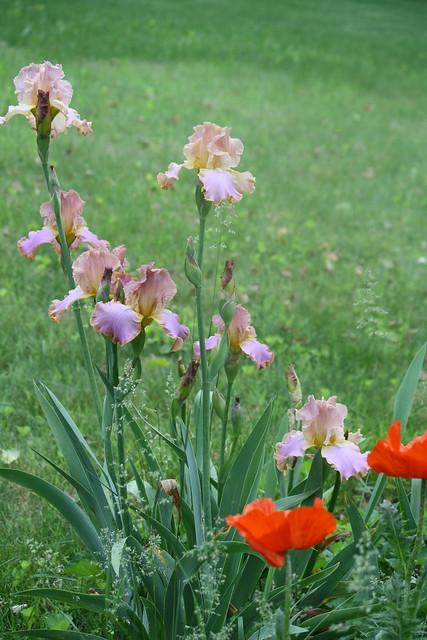 poppy with iris