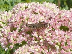 Grasshopper on flower