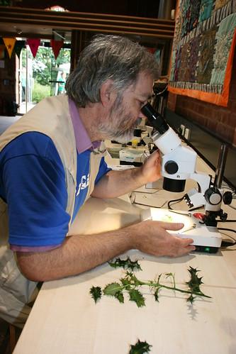 David Brown examining the holly leaf miner