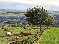 Cattle under a tree in a field above Golcar