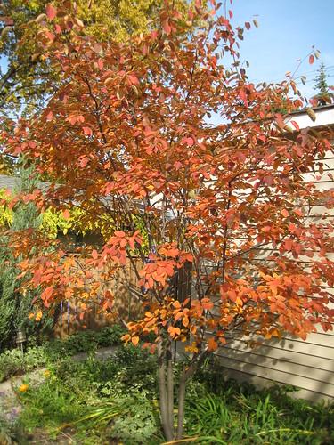Serviceberry 'Autumn Brilliance' - afternoon