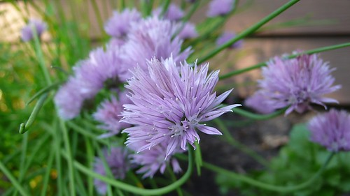 5/30/09 Chives in Bloom