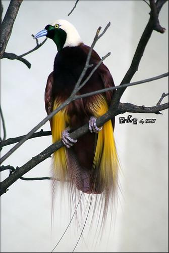 Greater Bird of Paradise (Cenderawasih Kuning Besar - Paradisaea apoda)