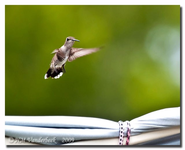 A Hummingbird to Brighhten Your Day