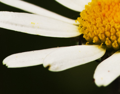 Large Daisy close up by Apollo Tom