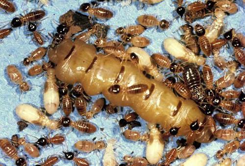 Краљица термита са радницима и јајима (аутор nerdabout)