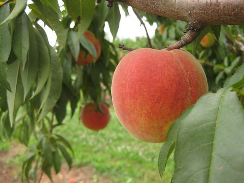 Peach - On Tree