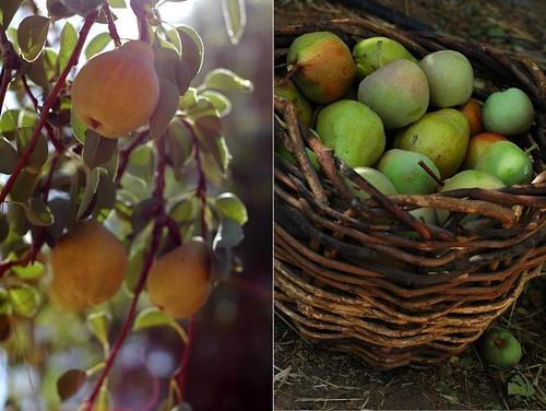 apple harvest pears
