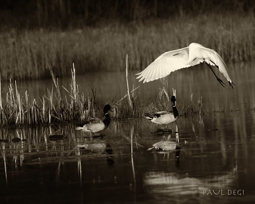 Great Egret ( No. 2 ) Sepia