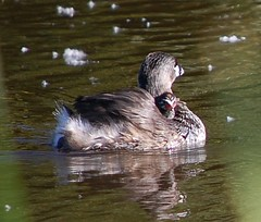 Pied-billed Grebe and chick