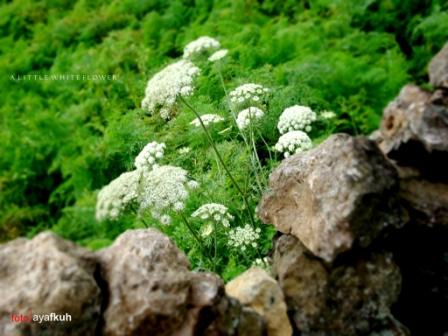 a little white flower
