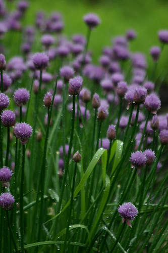 chives in rain