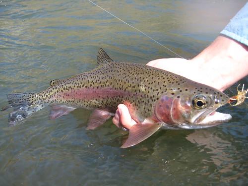 Wild Deschutes River Rainbow Trout
