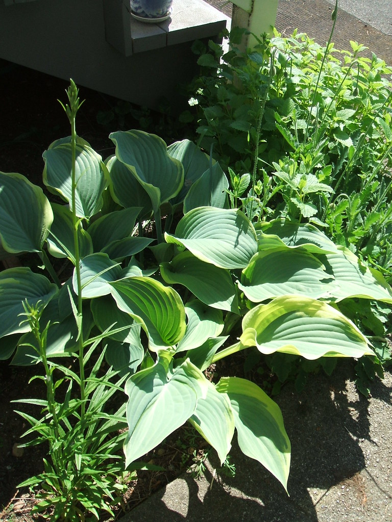 Hosta 'Regal Splendor' at corner of house