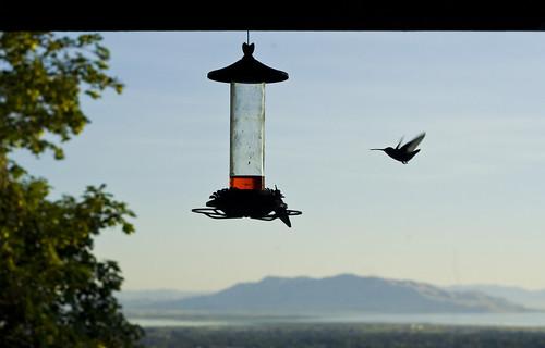 hummingbird 2 cropped