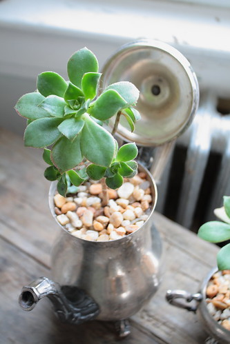 Tea Pot Succulent