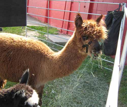 elvis alpaca