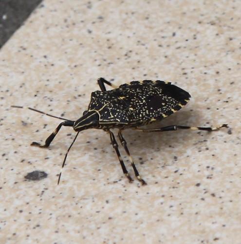 Stink bug カメムシ