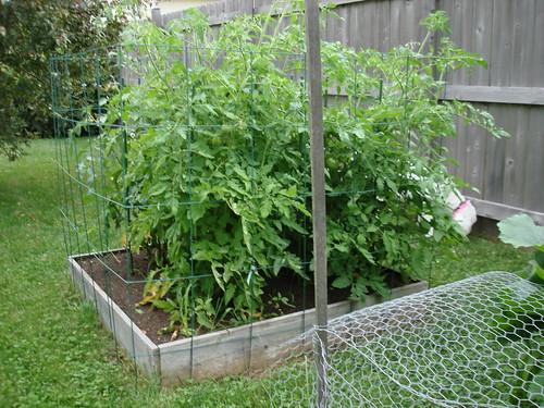 Tomatos  7-16-2009 6-31-48 PM