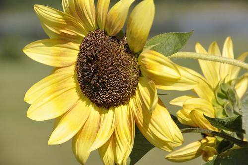 Sunflower, full sun/hard light (c) Lynne Medsker