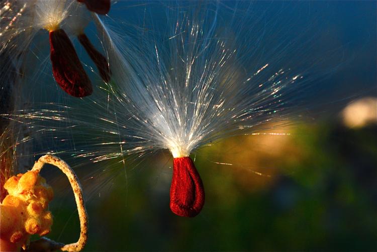 Showy milkweed seed