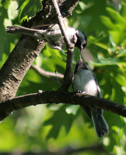 Fledgling Black-capped Chickadee with parent