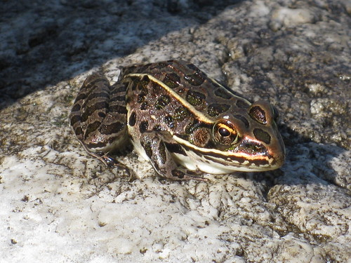 Pickerel Frog, Bruce Peninsula National Park
