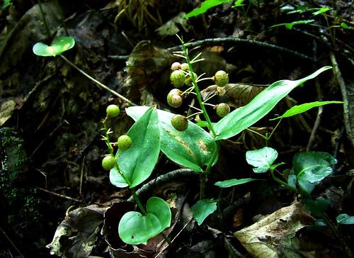 Maianthememum in berry
