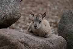 Westkaukasischer Steinbock im Zoo Tallinn
