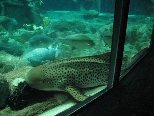 ปลานอนอืดอยู่ในตู้ใหญ่มากๆๆๆ ปนกะฉลาม ปลากระเบน อีนี่เป็นปลาไรไม่รู้ คิดเอาเองให้มันเป็นปลาบึกไปละกัน