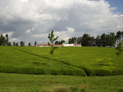 Tea fields of Kericho