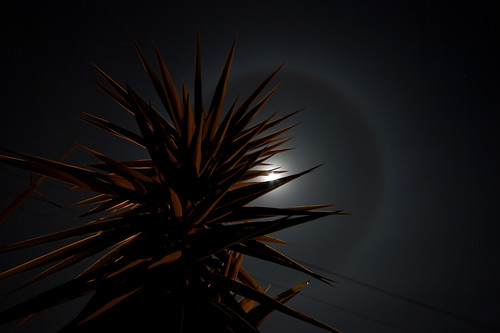 A ring around the moon behind a yucca plant