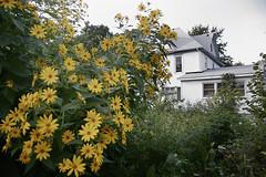 jerusalem artichokes flowers