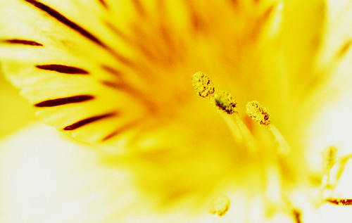 X-Pro Lily. (Fuji Velvia 50 — Cross-Processed. Nikon F100. Epson V500.)