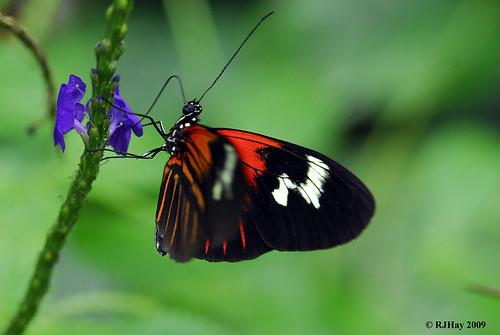 Doris Butterfly, Butterfly Conservatory, Niagara Falls, Ontario
