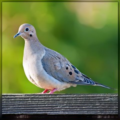Birds in our garden: Mourning Dove
