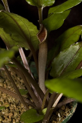 Cryptocoryne wendtii 'green 02' inflorescence