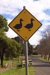 Driver beware - Ducks and ducklings crossing. (Trentham Vic.)