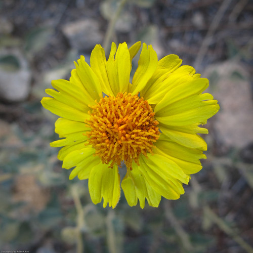 Acton Encelia(?) by you.
