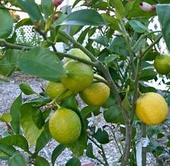 lemoncrop