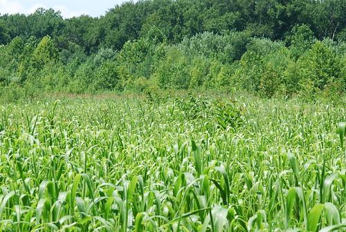 A field of corn!