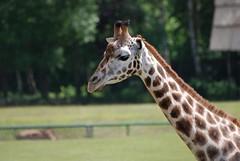 Rothschild Giraffe im Zoo Gdansk