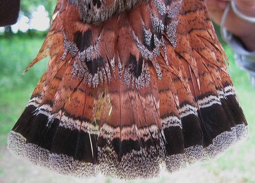 Ruffed Grouse - Tail