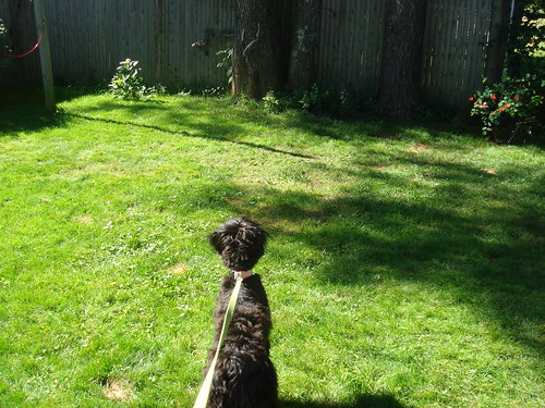 Slowly...so slowly...the Schnoodle creeps to the back of the yard....stalking the squirrels