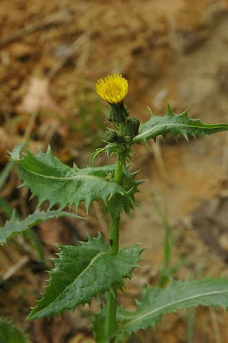 Sonchus oleraceus (Common sowthistle)
