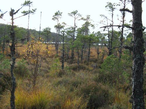 Dwarf Scots pines at Loch Morlich